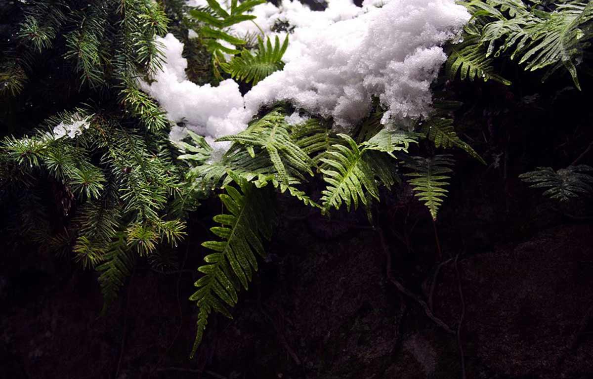 Des fougères sous la neige, à serrières en ardèche pour la galerie Landscape and Others © Kevin Amiel
